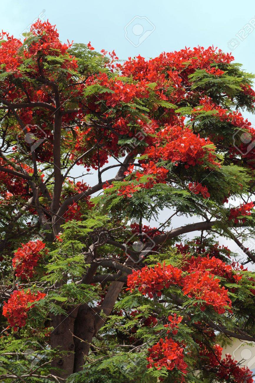 A red flowering tree, typical of tropical climate, Reunion island Stock Photo - 4258651