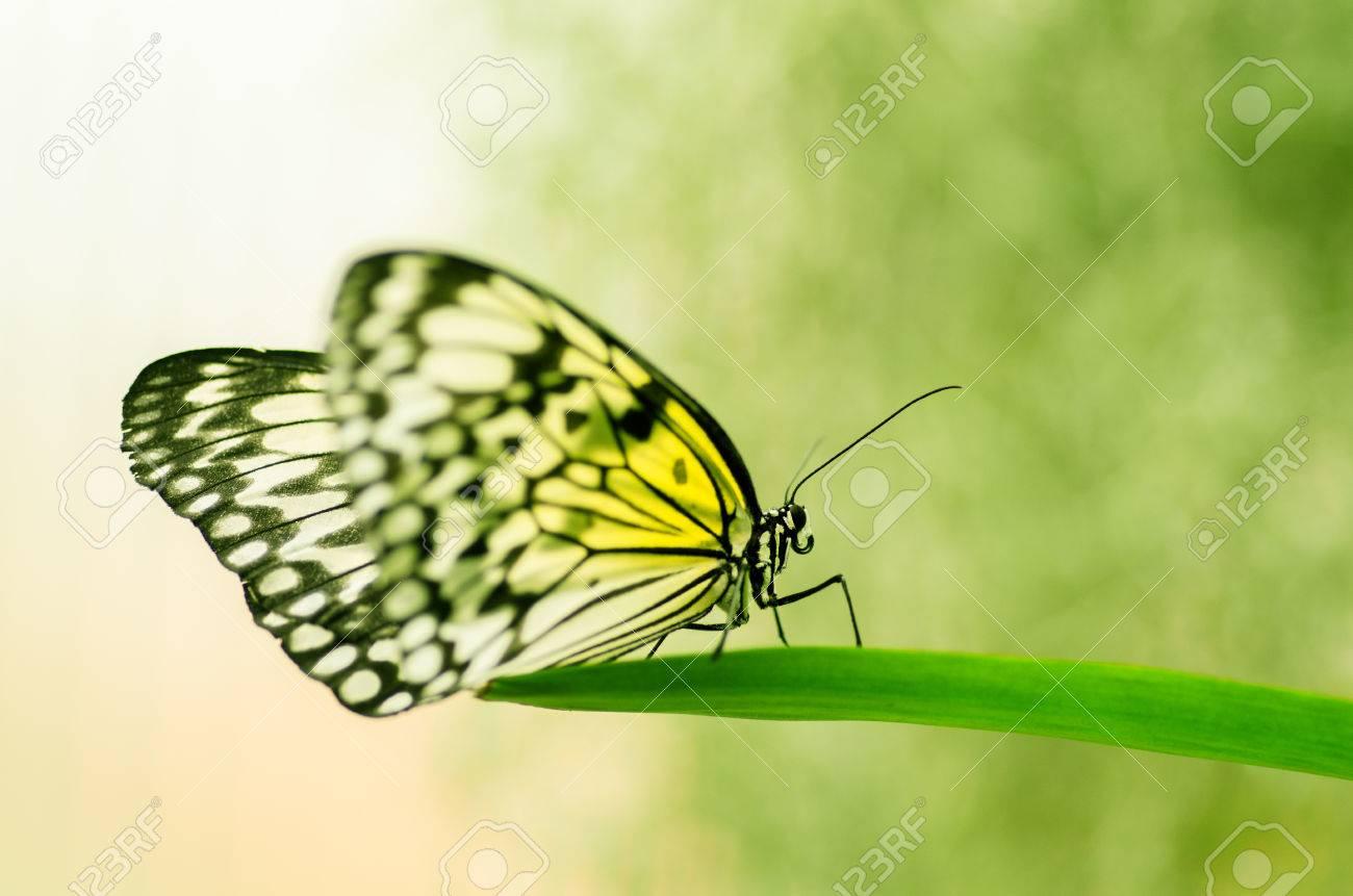 gelber Schmetterling auf einem Grashalm Standard-Bild - 23364047