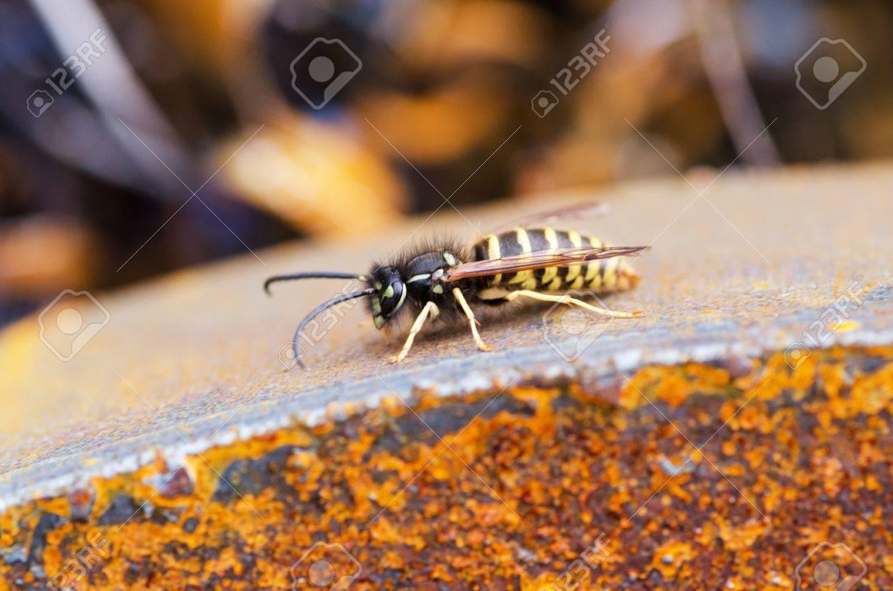 wasp Standard-Bild - 23364051