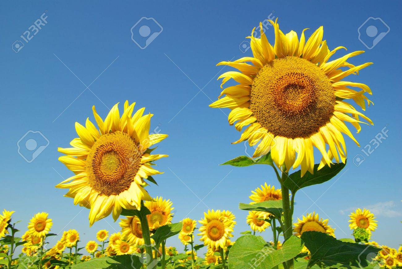 field of sunflowers and blue sun sky Stock Photo - 8009992
