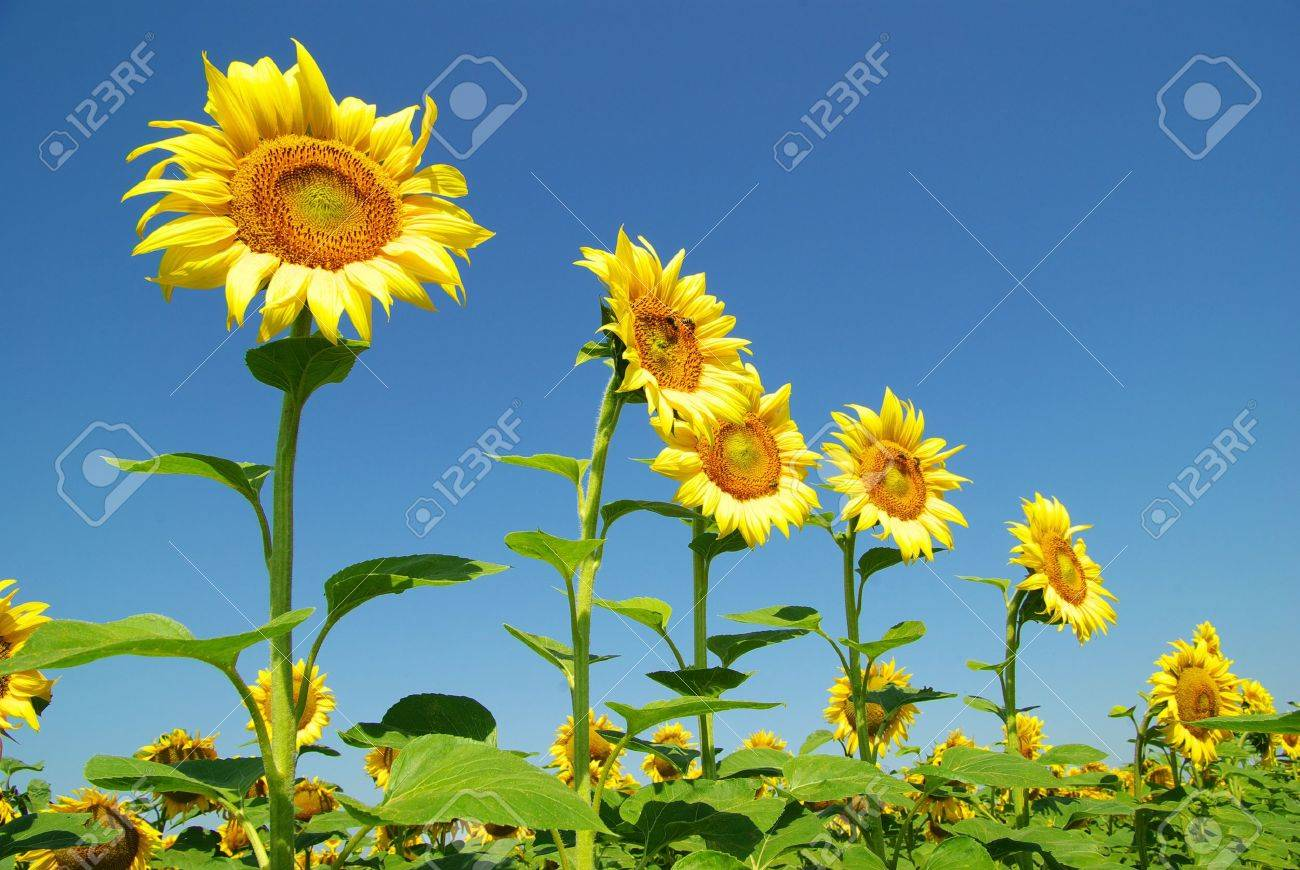 field of sunflowers and blue sun sky - 8009993