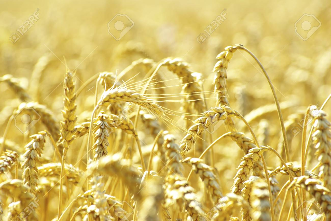 Fields of wheat at the end of summer fully ripe Stock Photo - 8665301