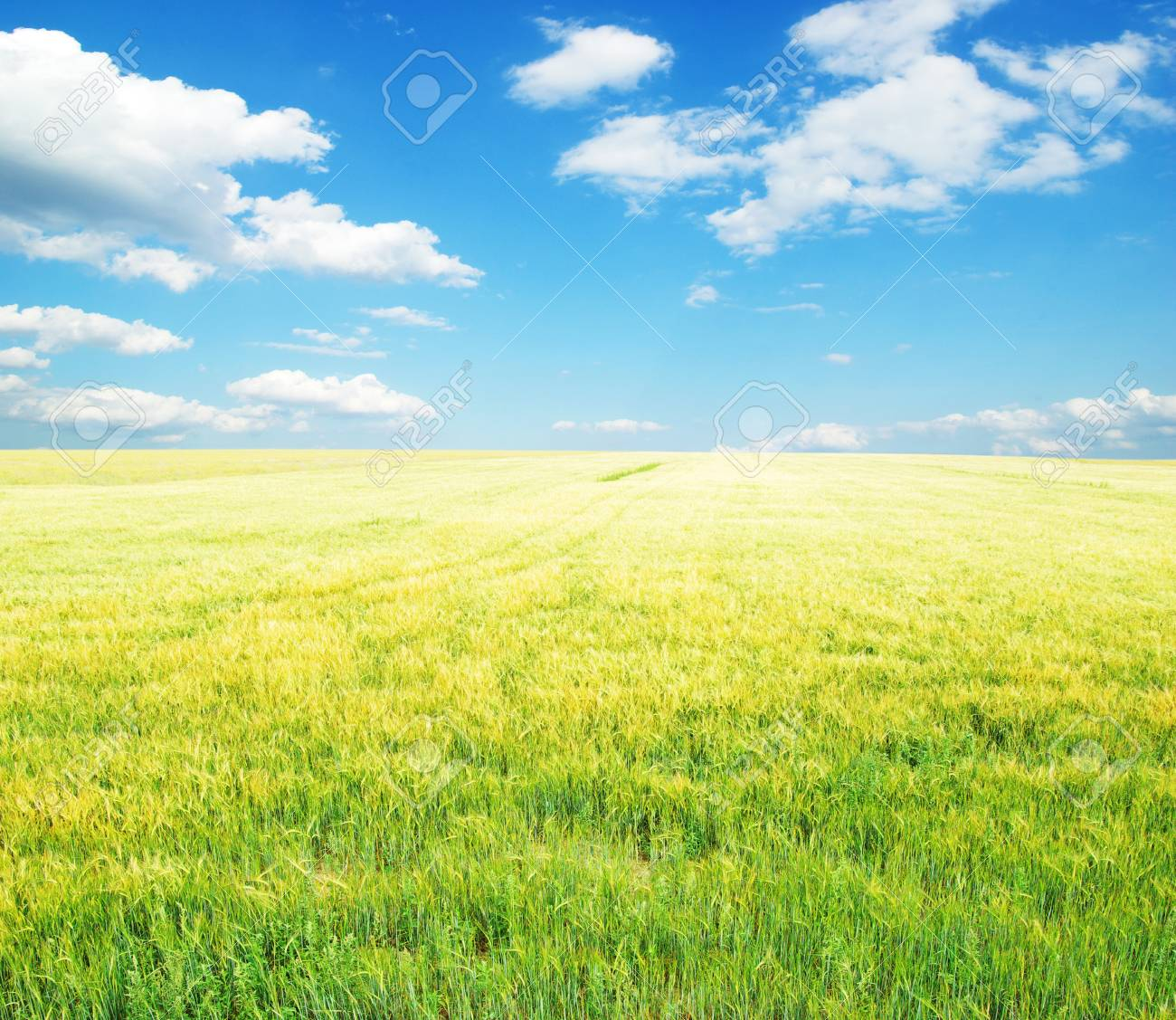 Fields of wheat at the end of summer fully ripe Stock Photo - 10498090
