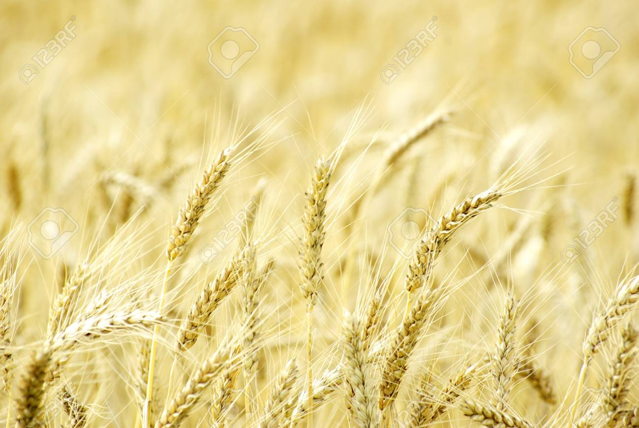 Fields of wheat at the end of summer fully ripe Stock Photo - 10682259
