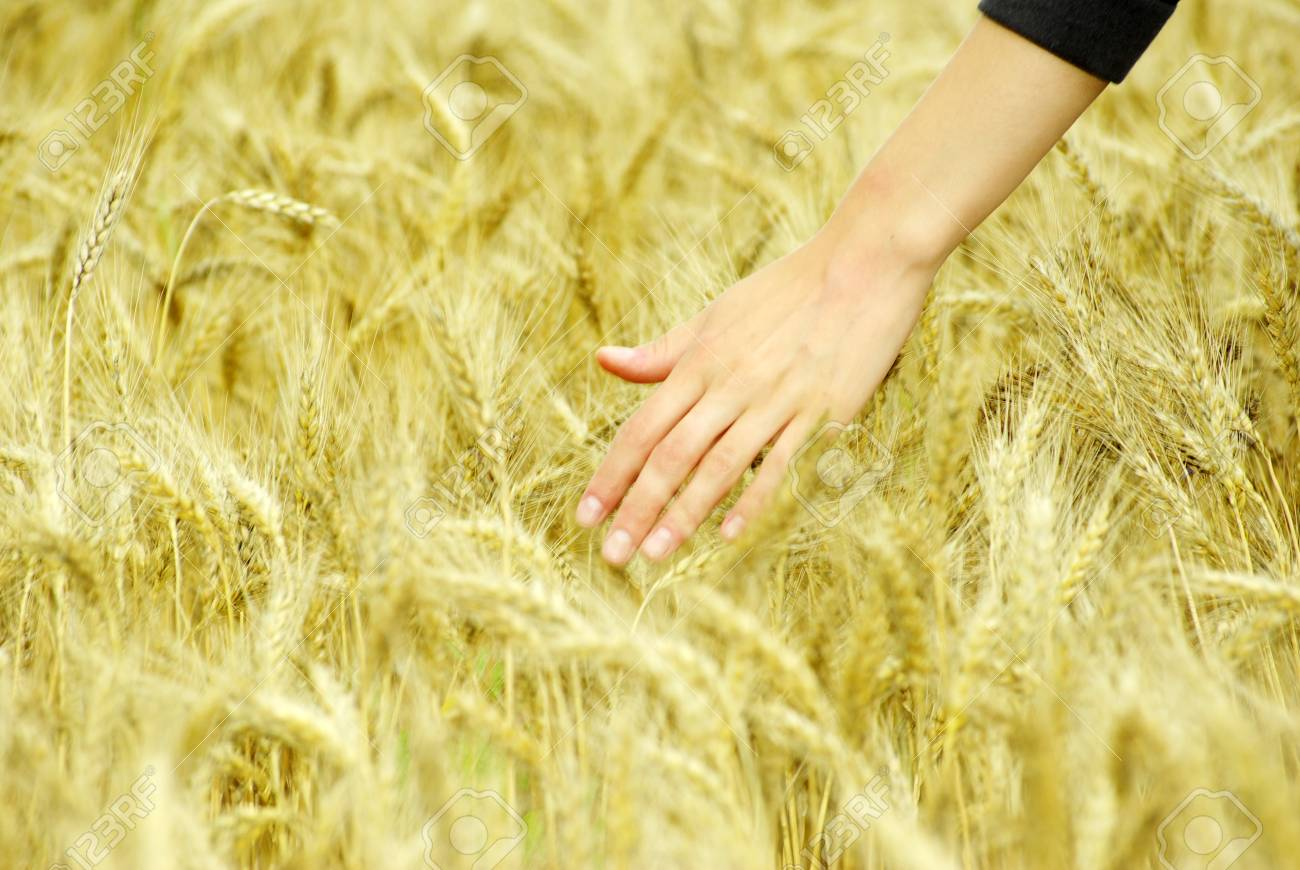 Fields of wheat at the end of summer fully ripe - 14977186