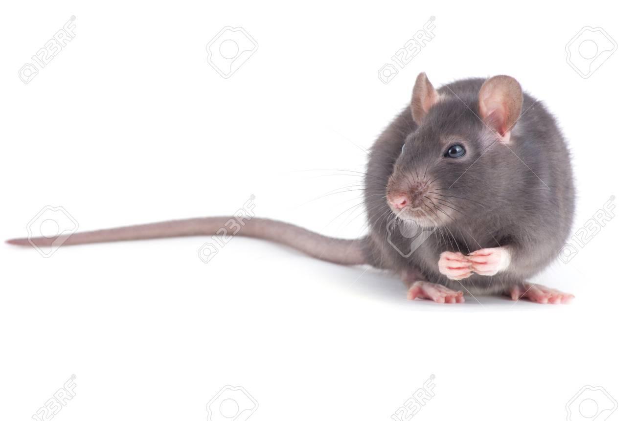 rat isolated on white background - 19251513