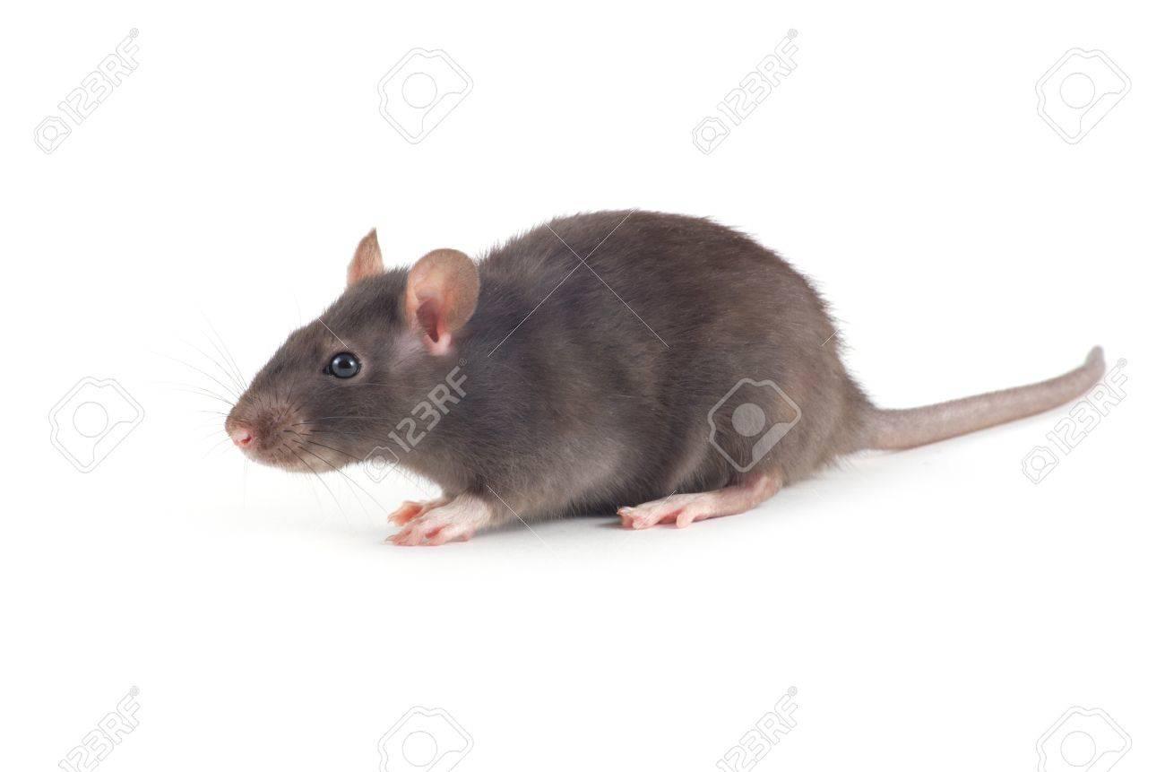 rat isolated on white background - 19432641