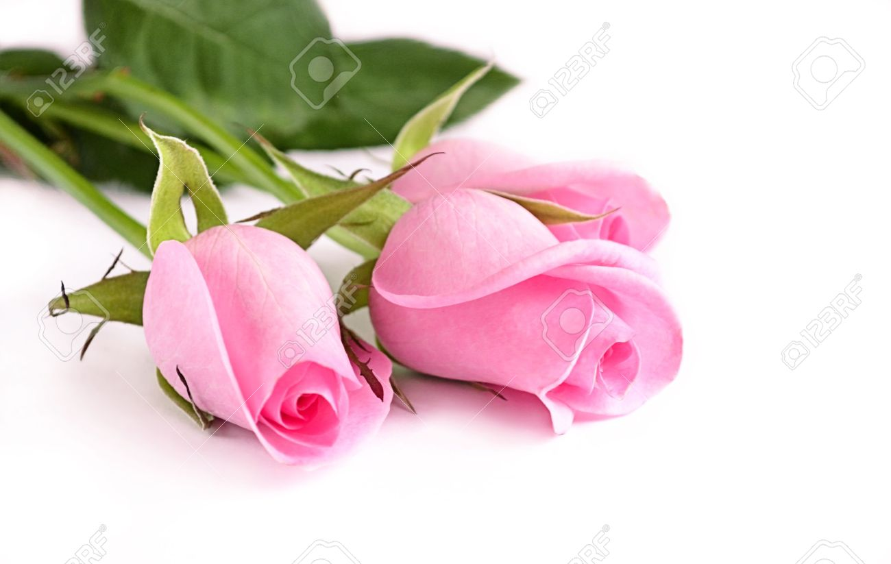 Three pink roses on white background - 13167438