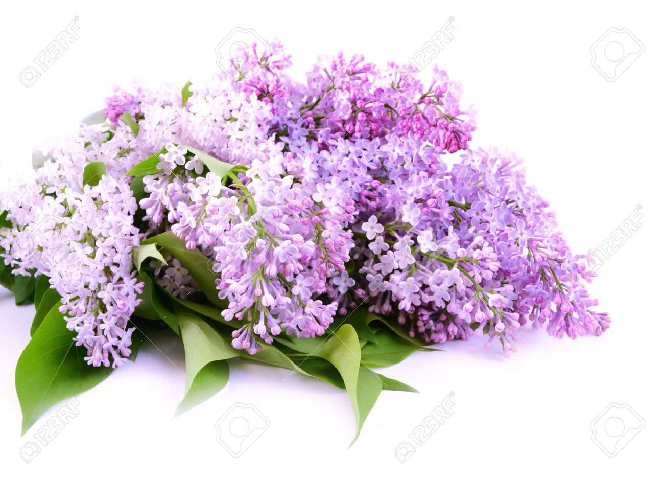 Bouquet lilac blossom on white background - 13571751