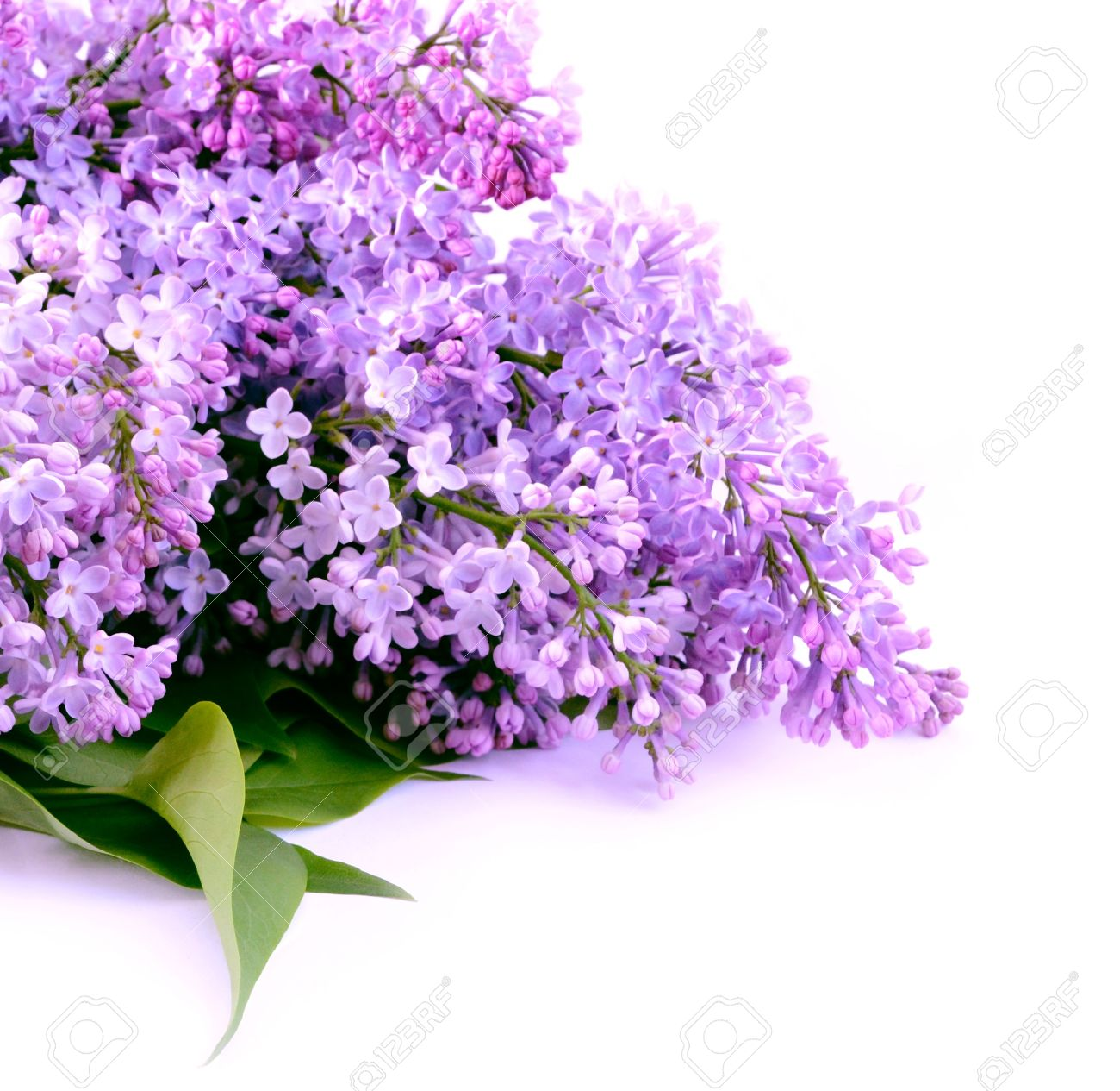 Bouquet lilac blossom on white background - 13623226