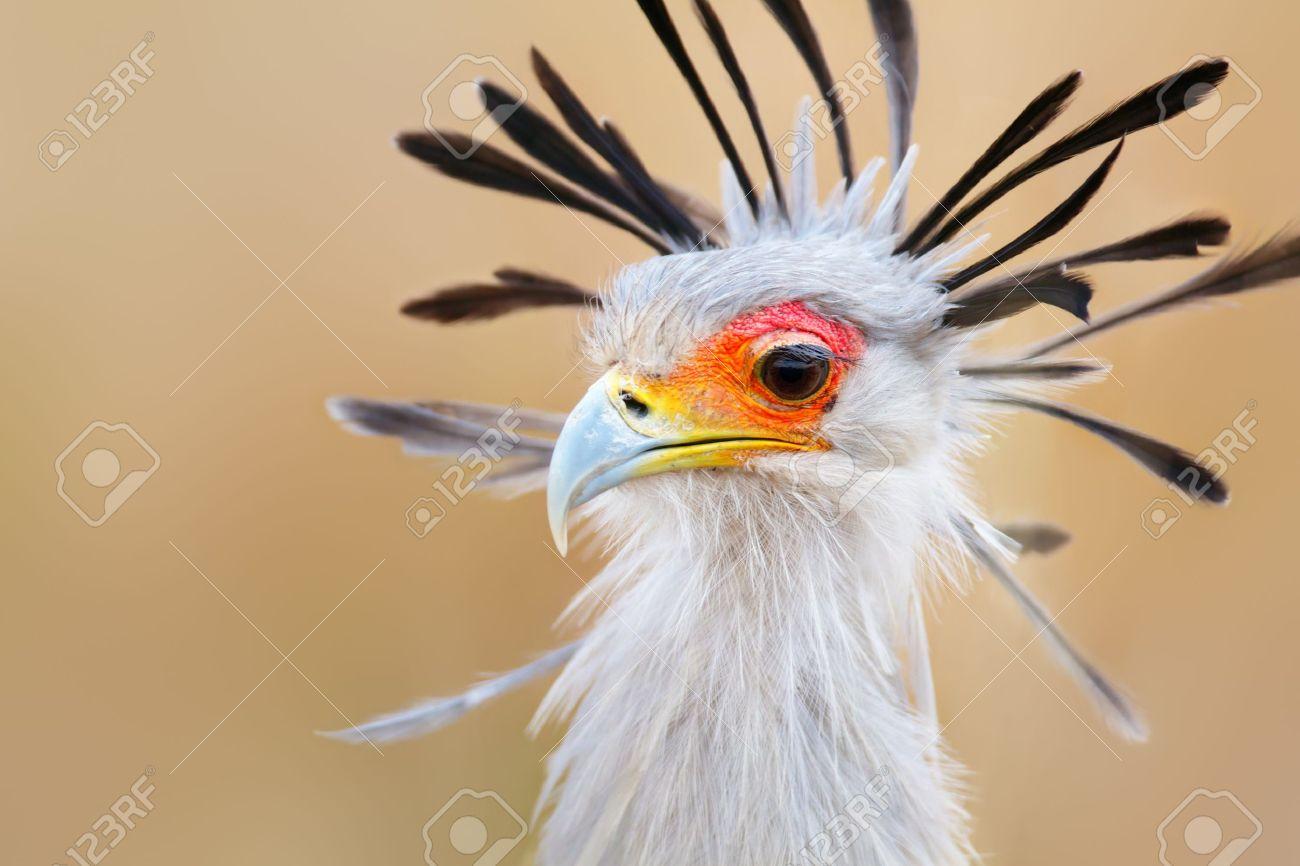 Portrait D Un Oiseau Secretaire Sagittarius Serpentarius Parc National Kruger Afrique Du Sud Banque D Images Et Photos Libres De Droits Image 10014880