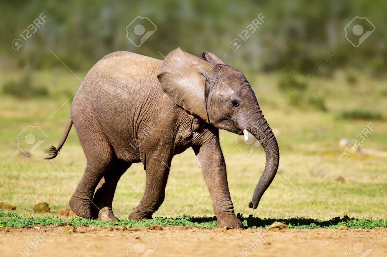 Baby Elephant running - Addo National Park Stock Photo - 17740866