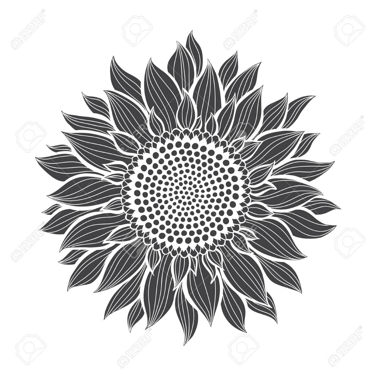 Sunflowers isolated on white background. Botanical vector illustration. Silhouette. - 113541249