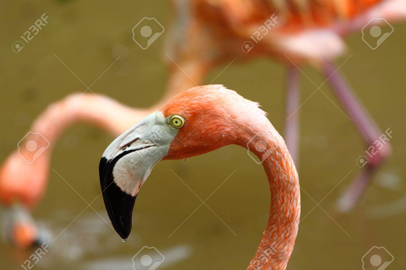 Portrait of a Caribbean Flamingo Stock Photo - 10392971