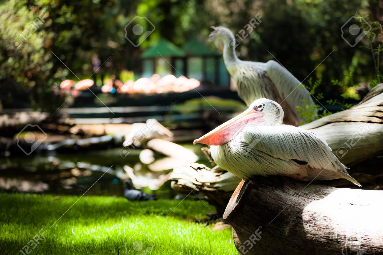 White pelican (Pelecanus onocrotalus) standing on grass ( HDR image ) Stock Photo - 17292791