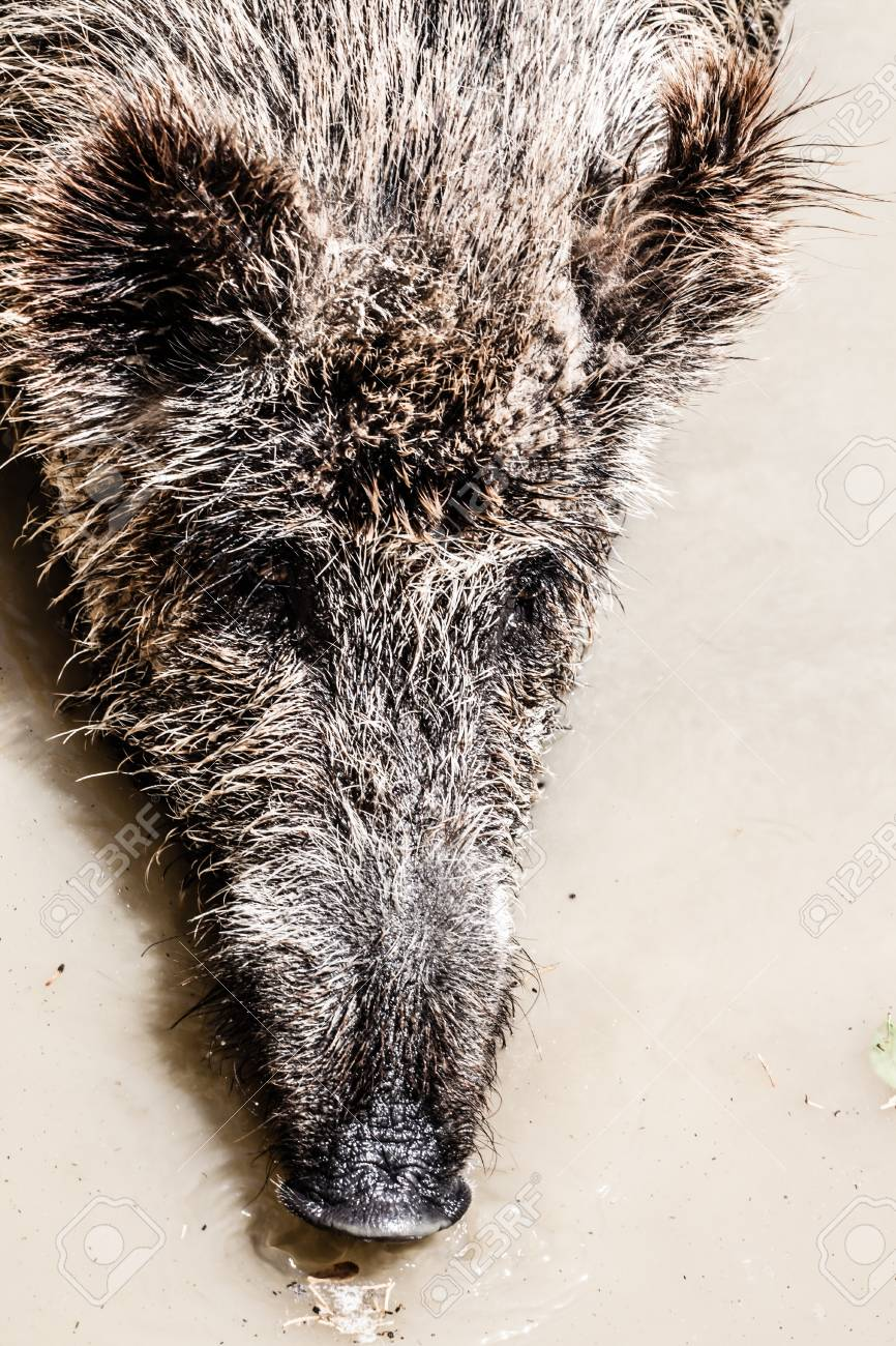 Wild boar in natural background ( HDR image ) Stock Photo - 17416250