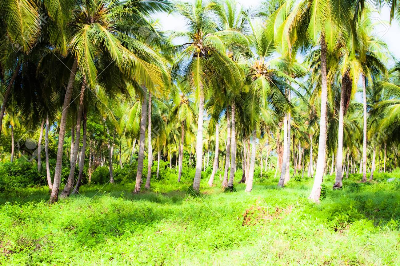 Green Palm Forest in Colombian Island ( HDR image ) Stock Photo - 17717517