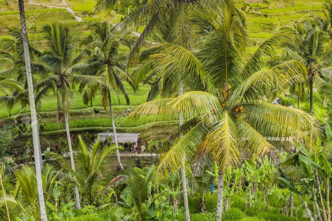 Bellissimi Campi Terrazzo Risaie Verdi Su Bali Indonesia