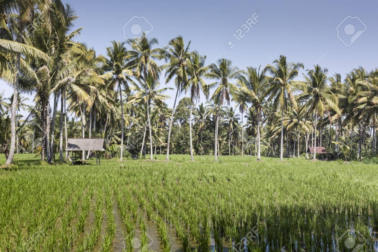 Campos De Arroz De La Terraza De Bali Con Palmeras Detrás