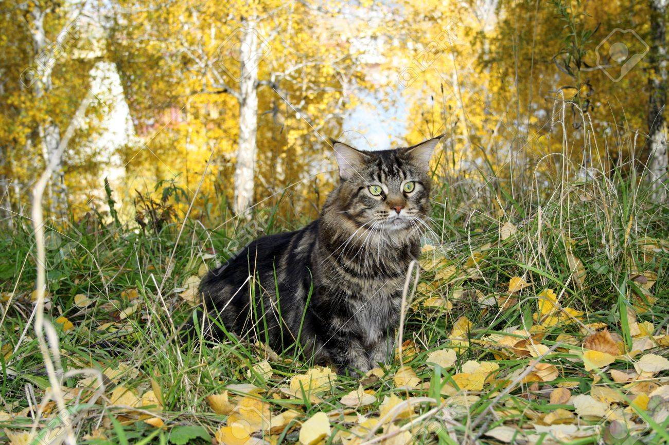 Maine coon cat in the forest in autumn Stock Photo - 17046099