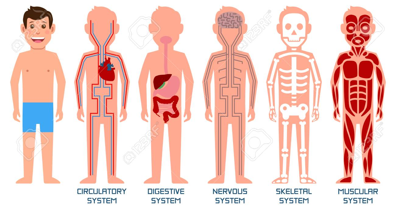 Five Systems Of Human Body Vector Illustration Royalty Free