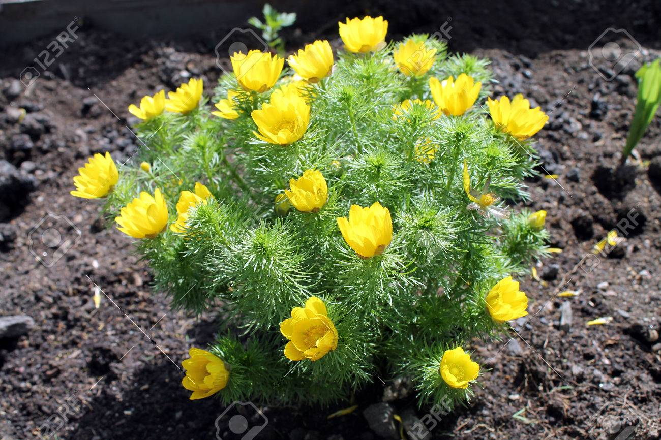 The Adonis Spring Flowers In Early Spring Bright Yellow Flowers