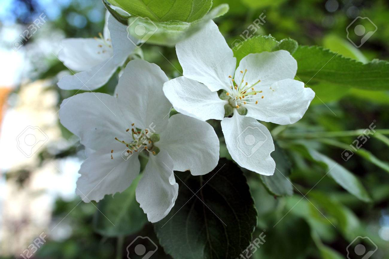 Blooming Apple Tree White Flowers In Early Spring Stock Photo