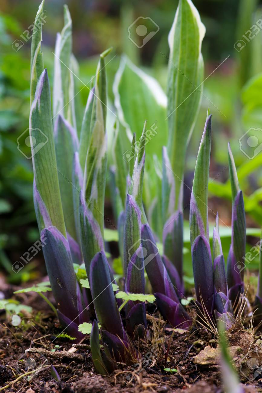 Young Growing Hosta Plants In Early Spring From Purple To Light