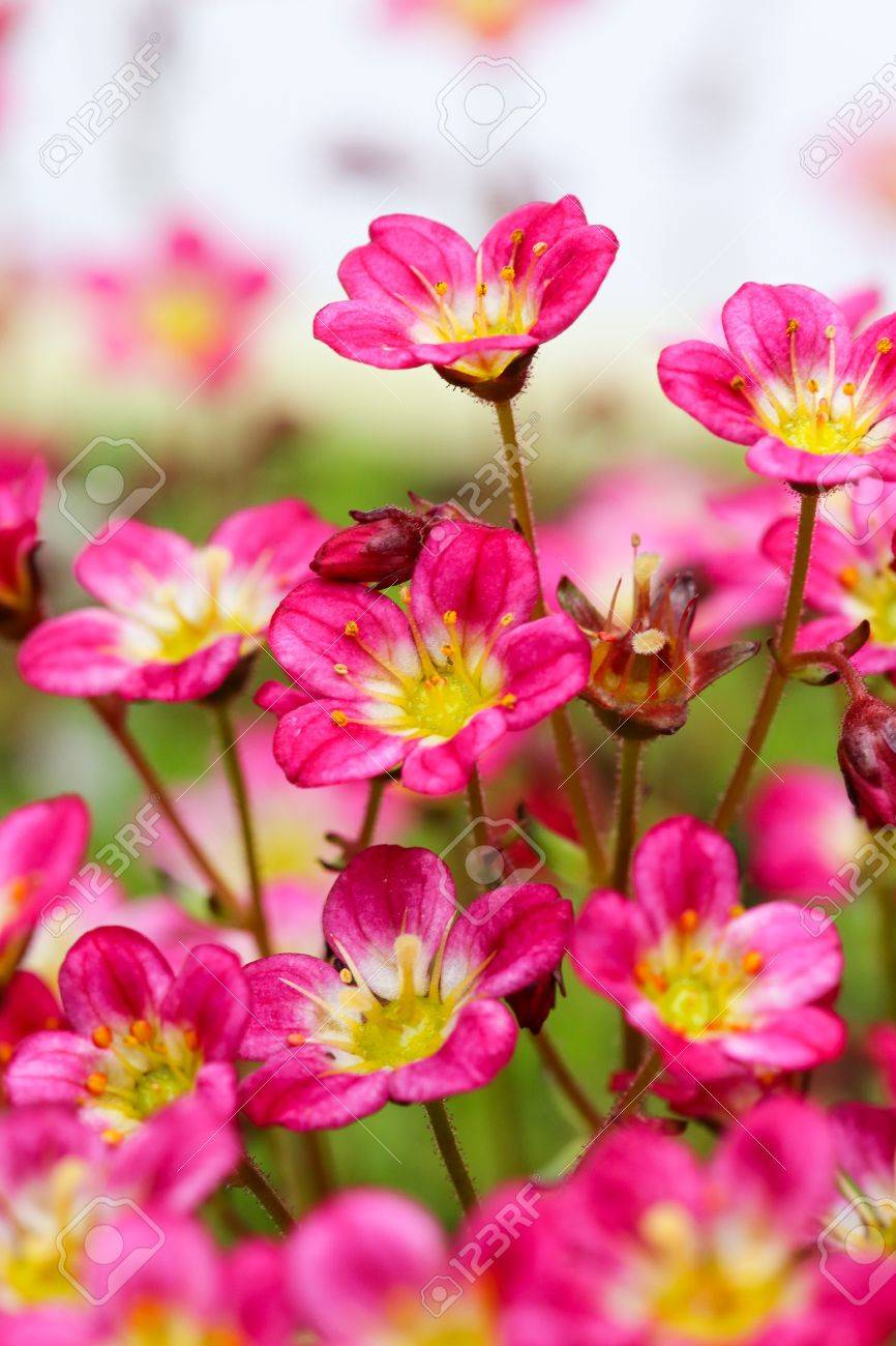 Sedum Saxifrage Pink Flowers On White Background Stock Photo