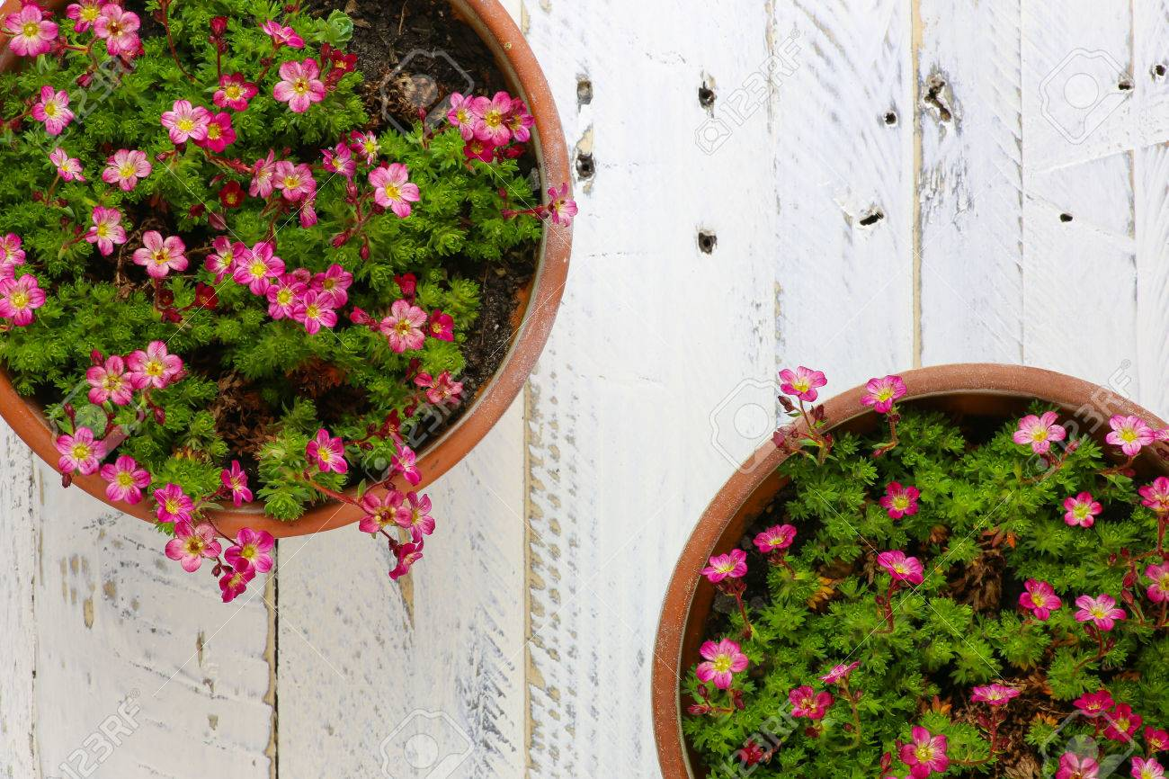 Sedum Saxifrage Pink Flowers Blossom With Rocks In Clay Pot On