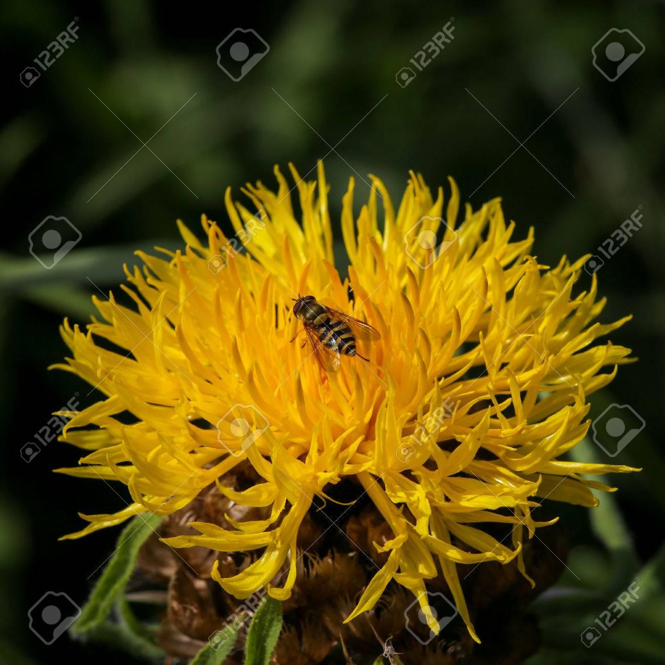 Giant Knapweed Bighead Centaurea Macrocephala Yellow Thistle Stock Photo Picture And Royalty Free Image Image 61618218