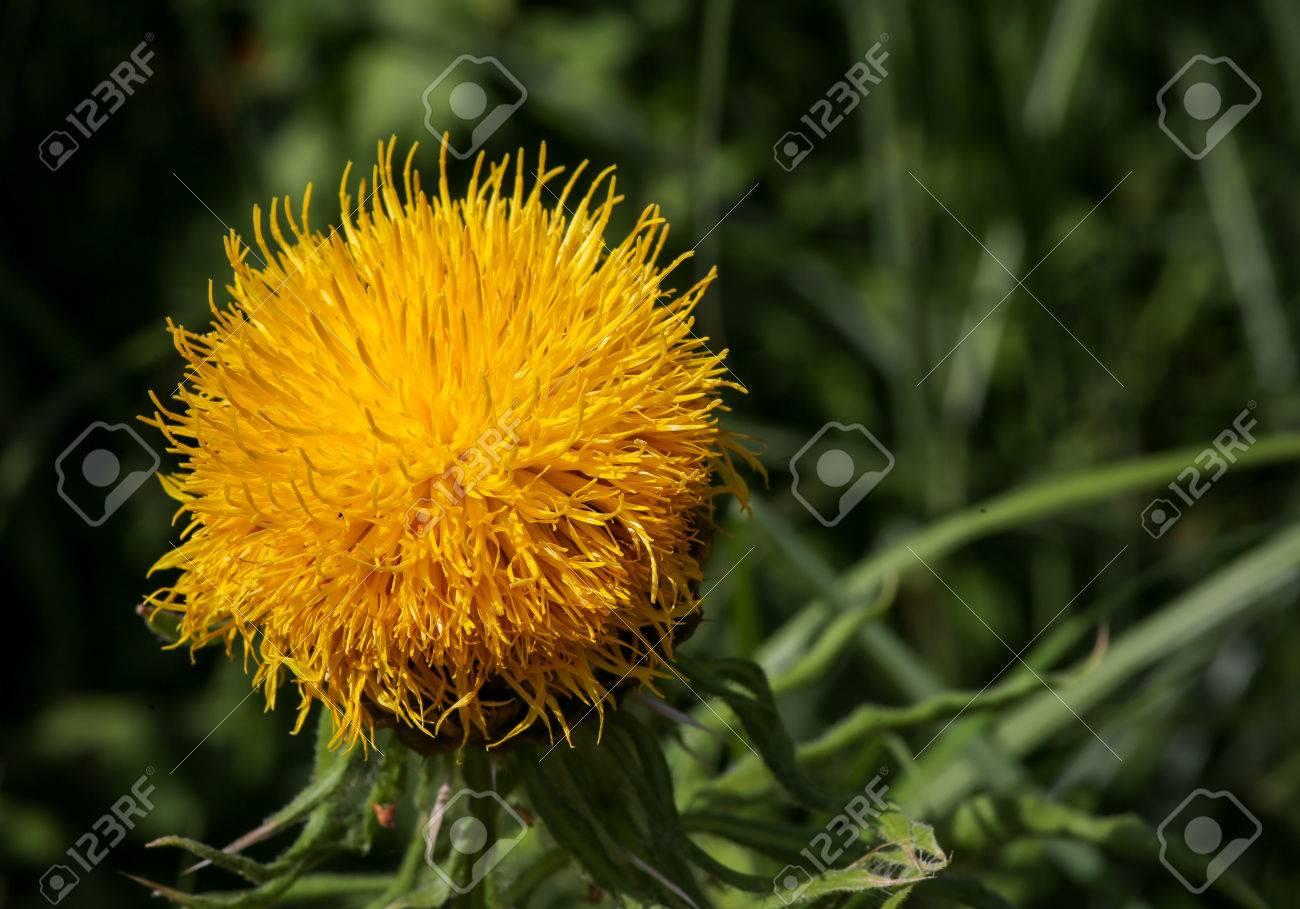 Giant knapweed bighead centaurea macrocephala yellow thistle stock giant knapweed bighead centaurea macrocephala yellow thistle flower stock photo 61618024 mightylinksfo