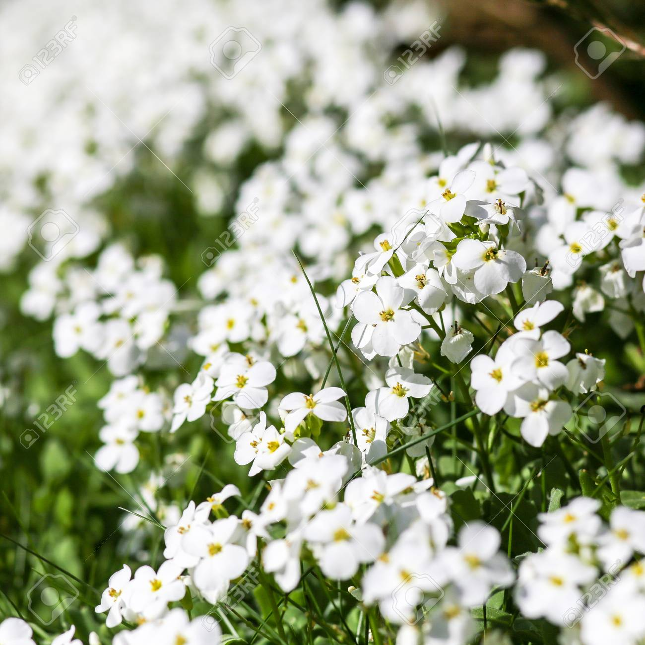 Wild Spring Little White Flowers With Four Petals Stock Photo