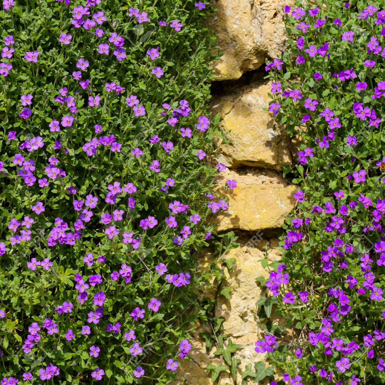 Lobelia Erinus Small Purple Magenta Flowers On The Stone Wall