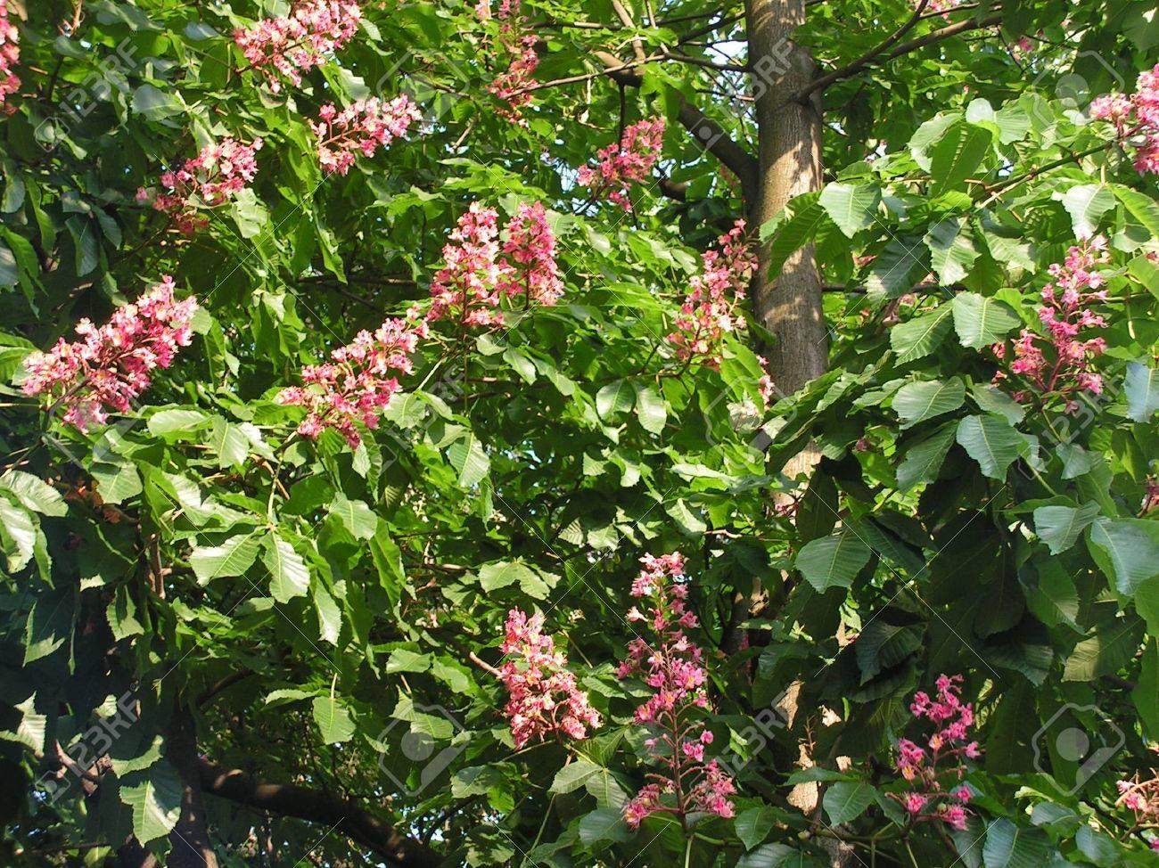 Chestnut tree with pink flowers stock photo picture and royalty chestnut tree with pink flowers stock photo 5847352 mightylinksfo