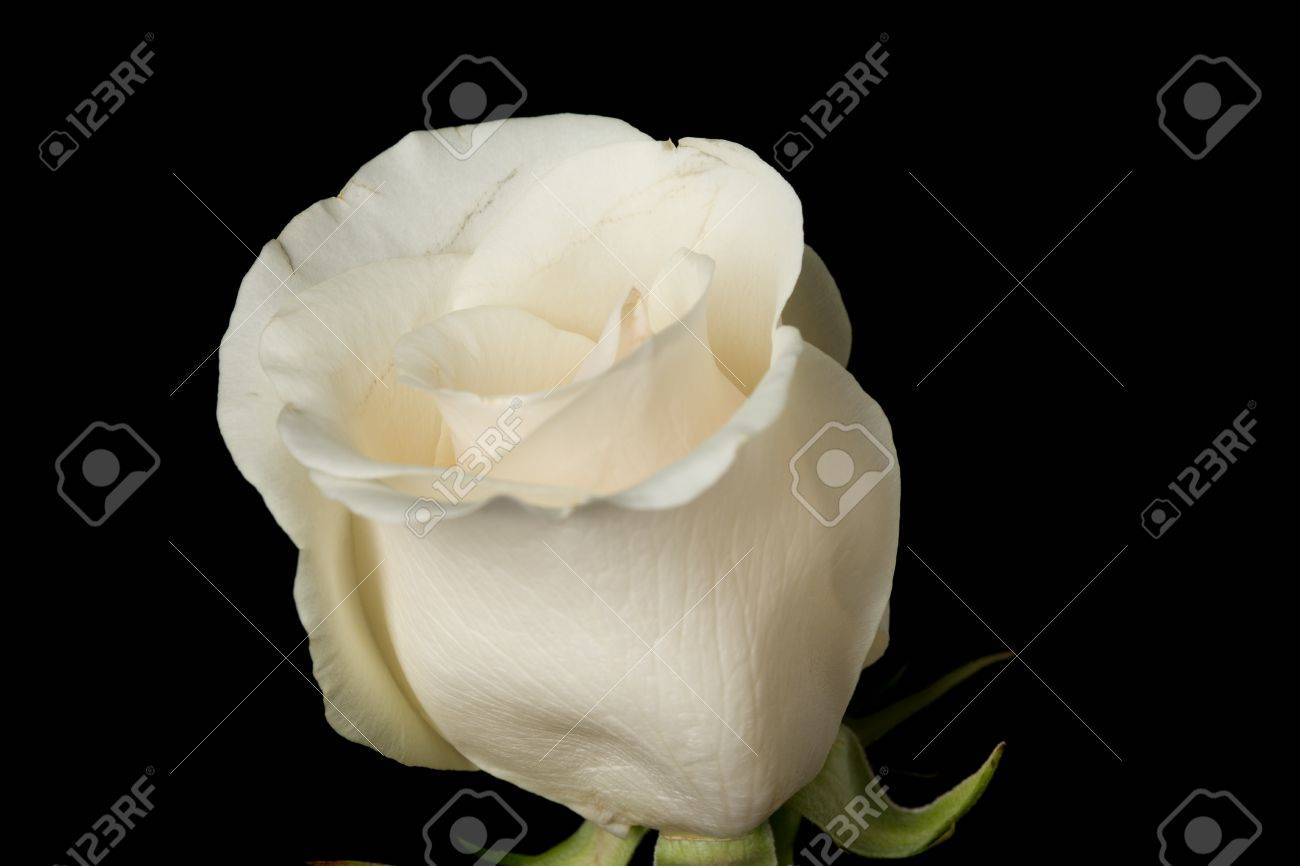 Single White Rose Black Background