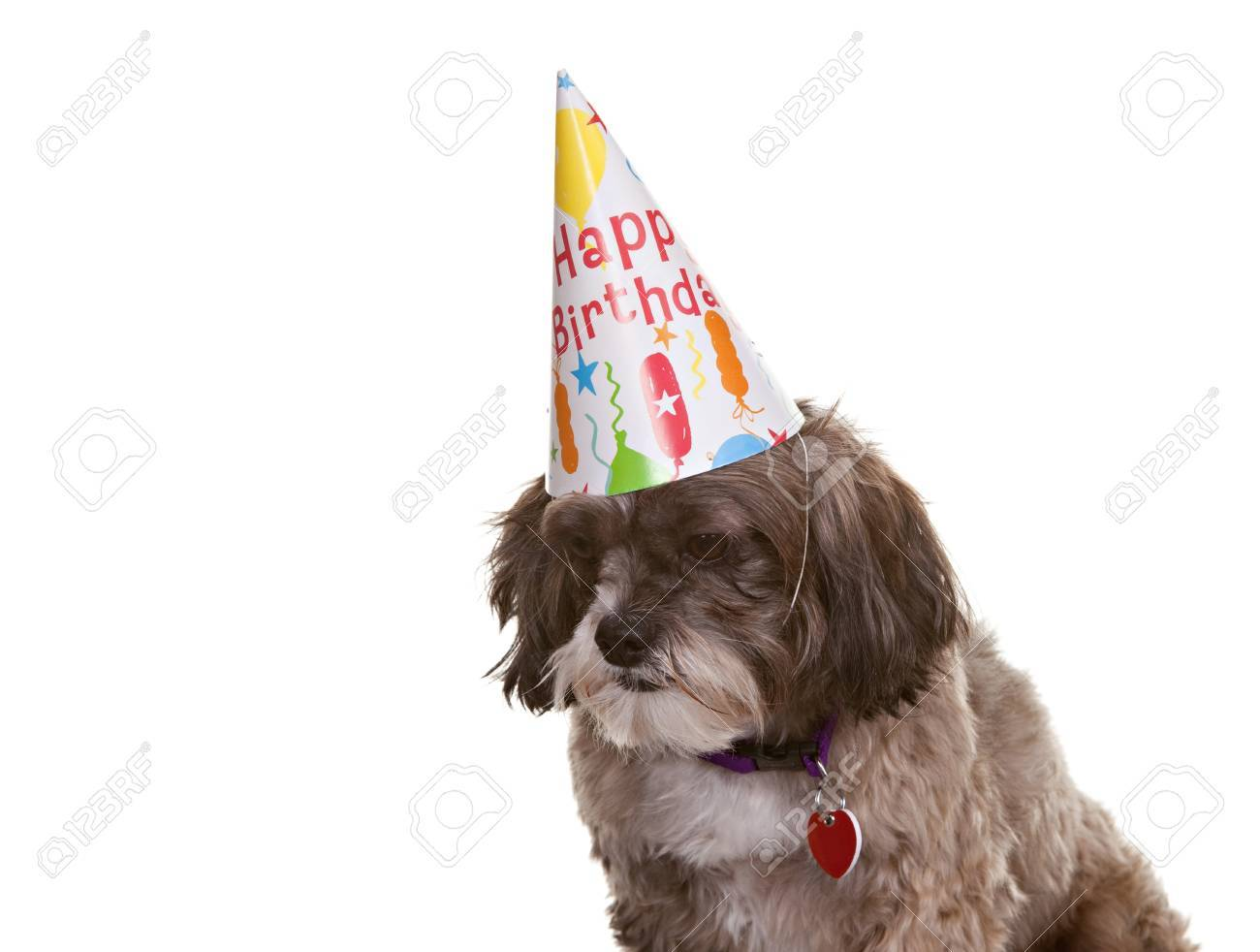 Small Dog Wearing A Birthday Party Hat Stock Photo