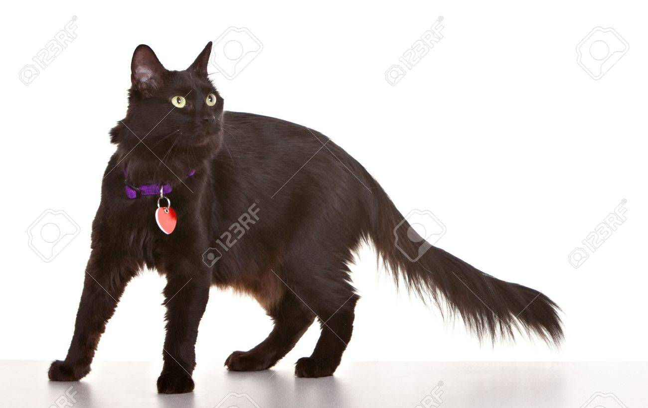 Black cat on white background wearing collar and tag Stock Photo - 10713636
