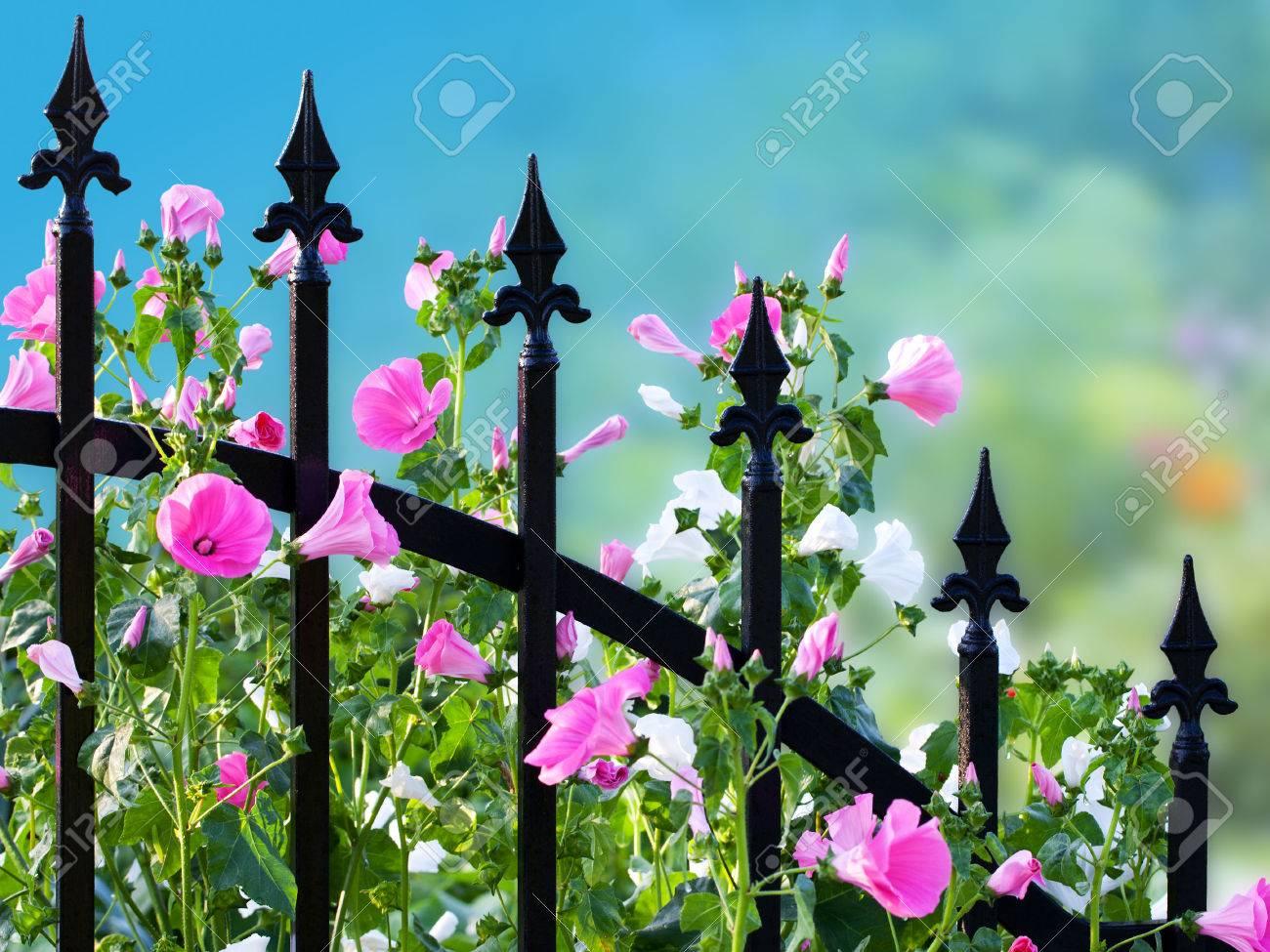clôture en fer forgé avec le chemin annuel fleurs de mauve de