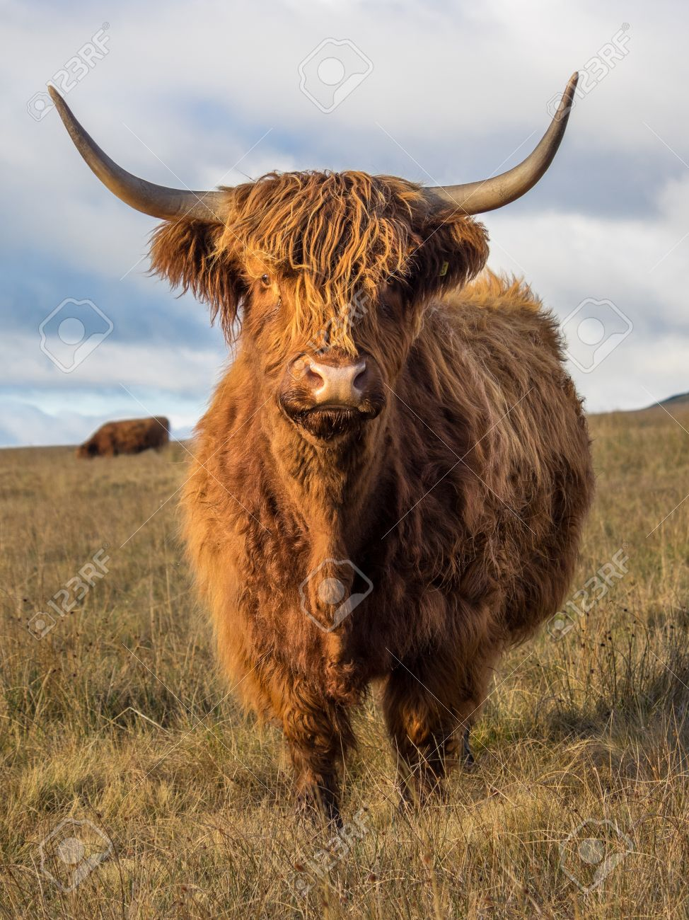 highland cow in a field above settle in the yorkshire dales stock