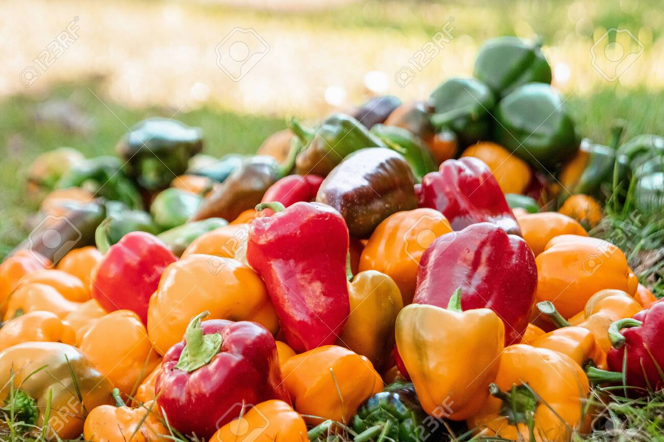 A bunch of bell peppers of different colors, organic vegetables. The concept of a garden, cottage, harvest - 131505711
