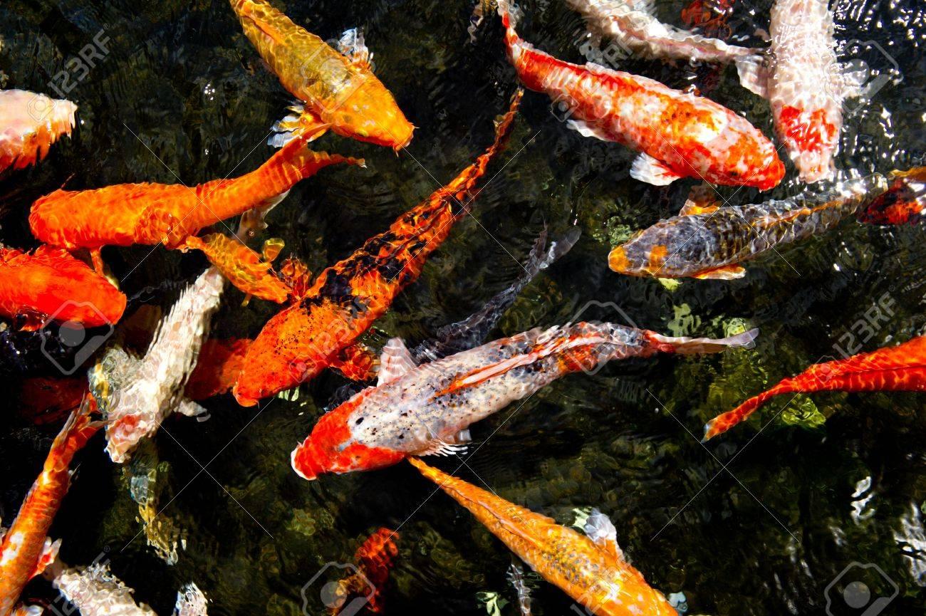 mirando hacia abajo en un estanque de peces koi nadando colores en la superficie foto