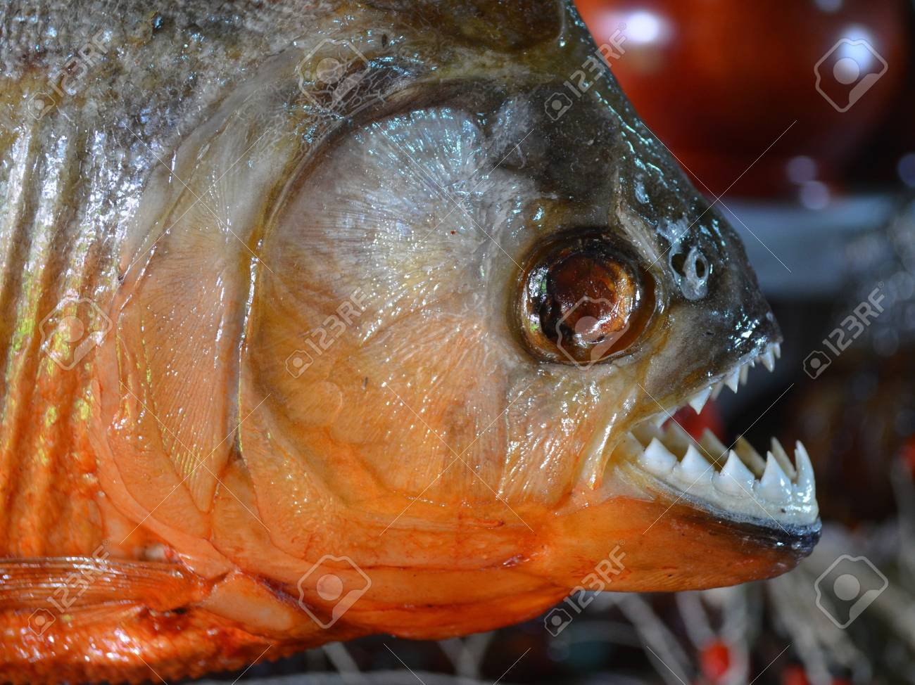 Red-bellied Piranhas on sale at a tourist market in Iquitos,