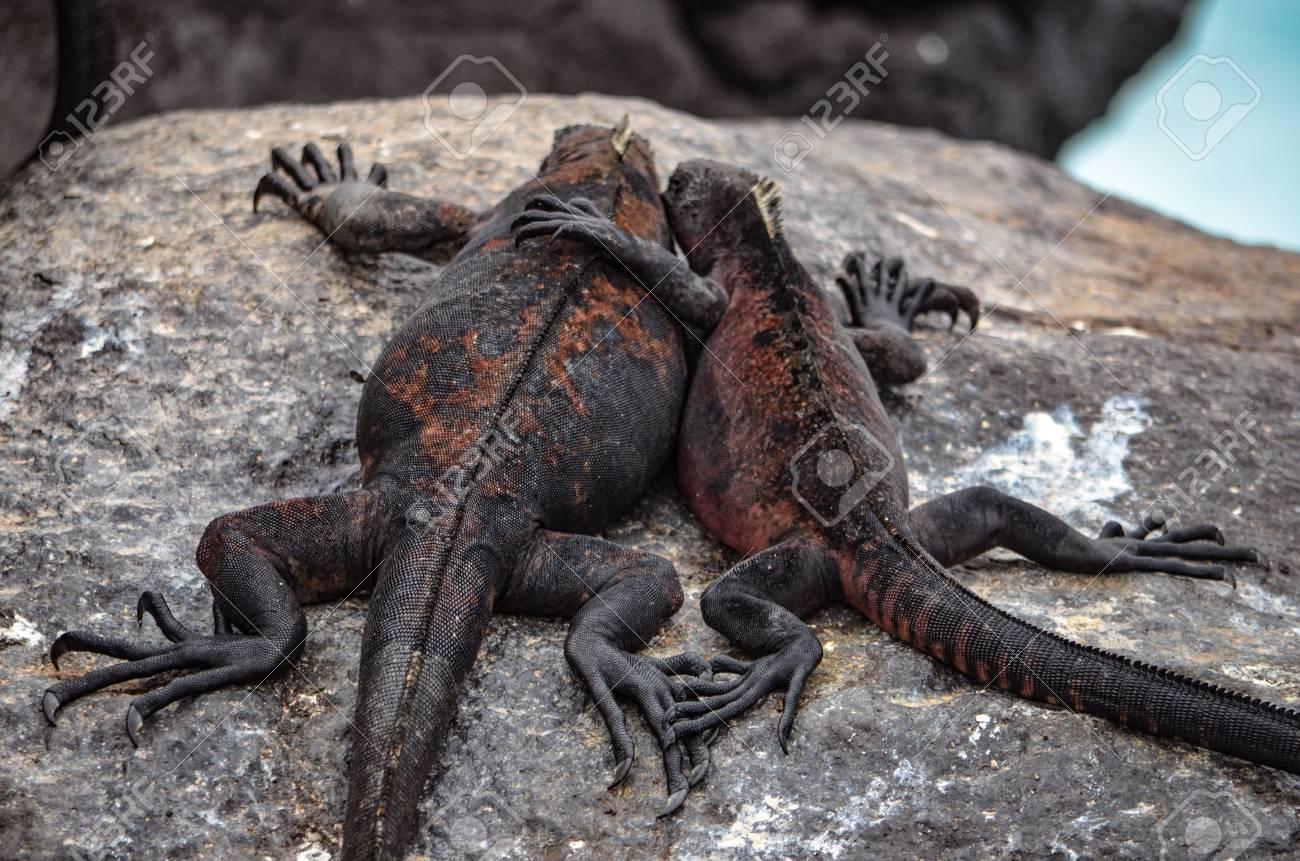 Marine Iguana Amblyrhynchus Cristatus A Species Of Iguana