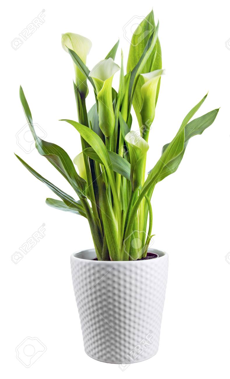 Calla Lily In A Pot On An Isolated White Background Stock Photo