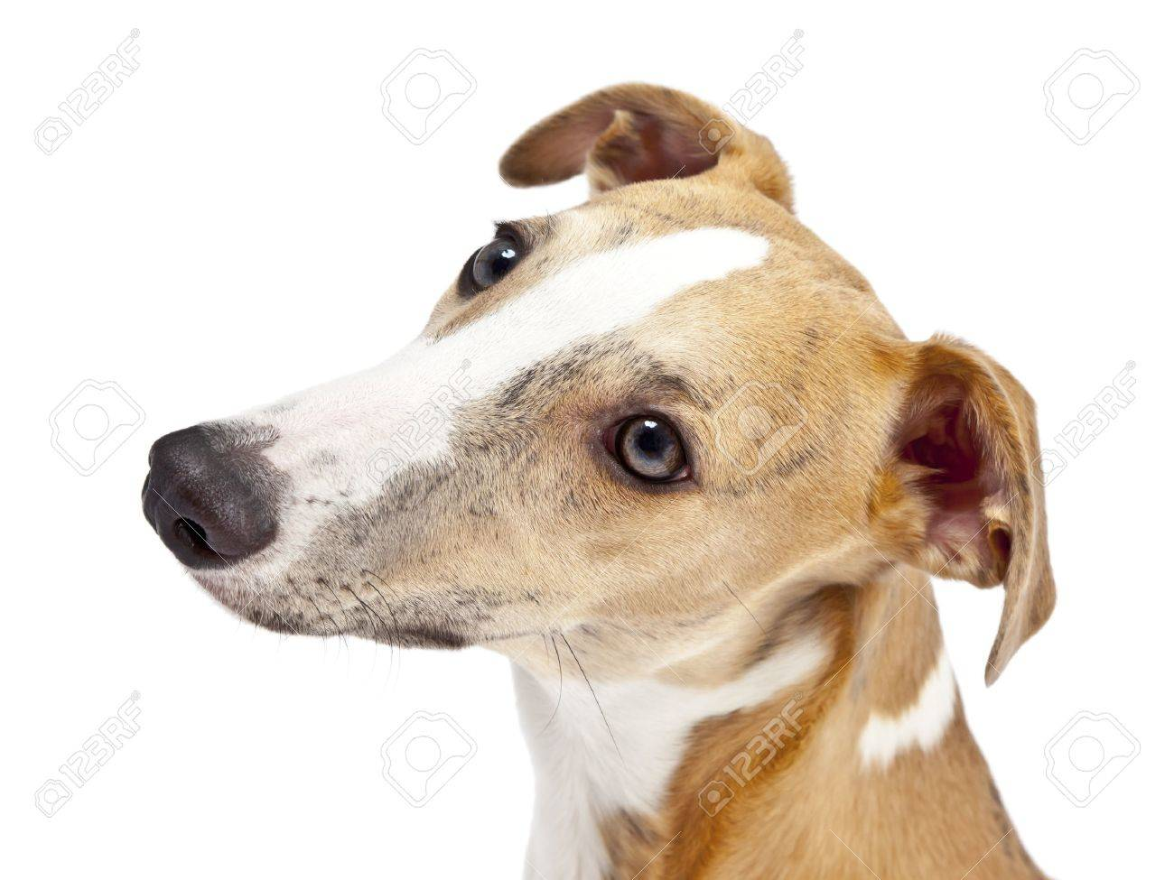 An image of a beautiful whippet dog on white background Stock Photo - 8481566