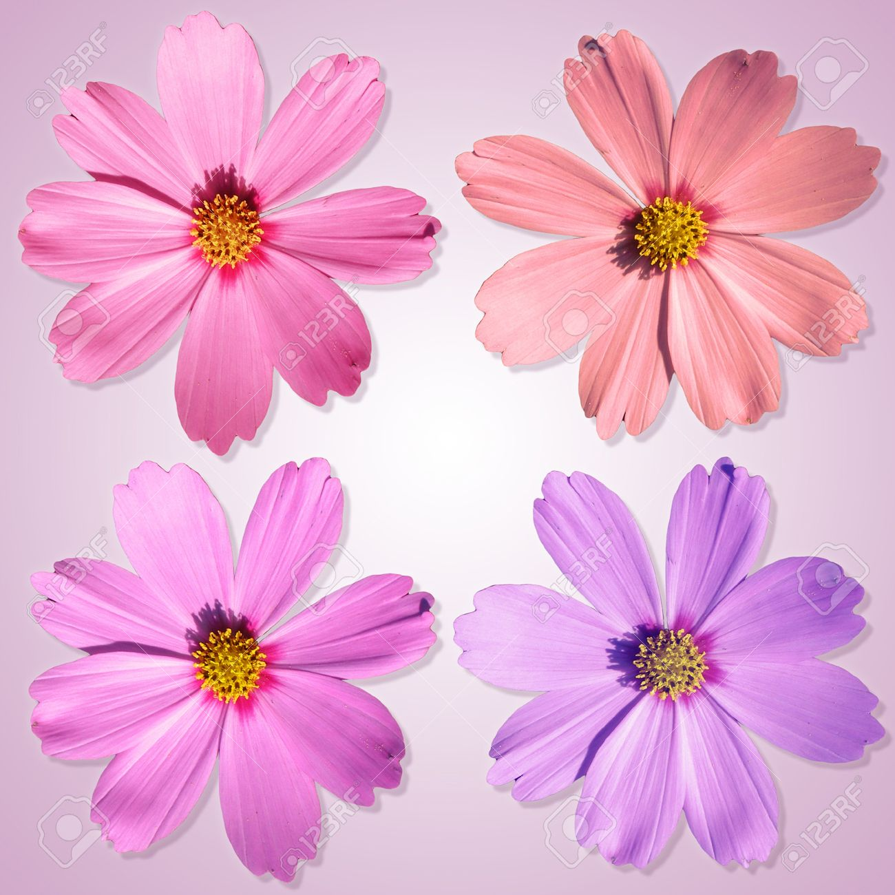 An image of four nice and beautiful flowers in front of a white an image of four nice and beautiful flowers in front of a white and pink background izmirmasajfo