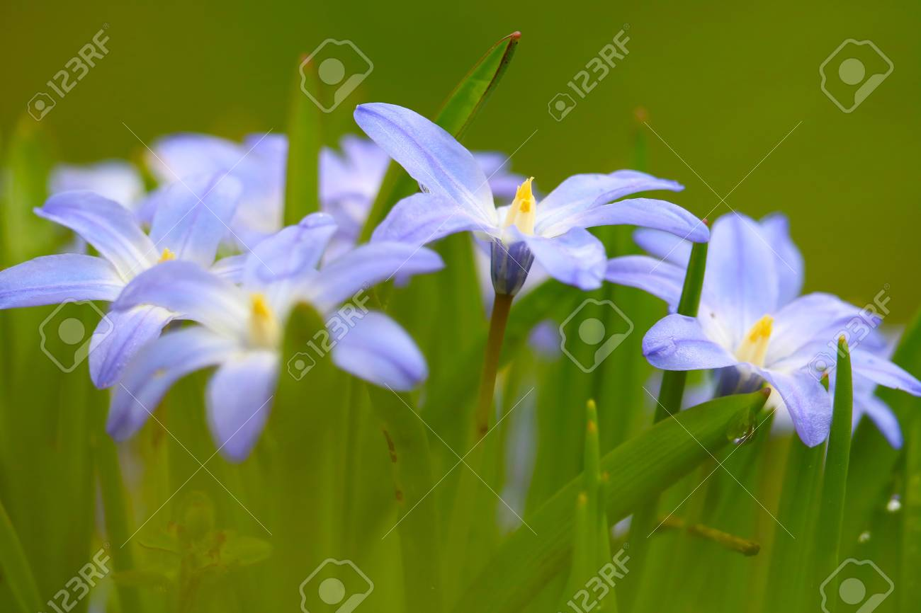 Little blue flowers in early spring stock photo picture and royalty little blue flowers in early spring stock photo 76799541 mightylinksfo