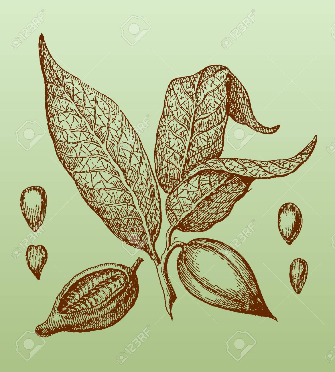 Branch Of The Cacao Tree Theobroma Cacao With Leaves Fruits Royalty Free Cliparts Vectors And Stock Illustration Image 101170177
