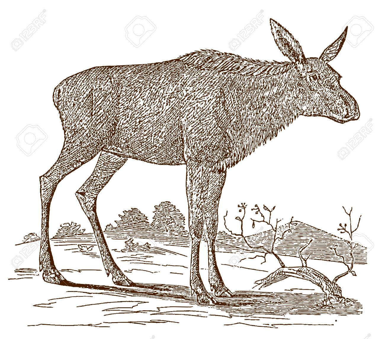 Female moose (alces) cow in side view, standing in a landscape. Illustration after a historic engraving from the 19th century - 128800038
